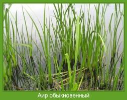 Растение  Аир обыкновенный Фото