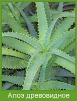 Растение  Алоэ древовидное Фото