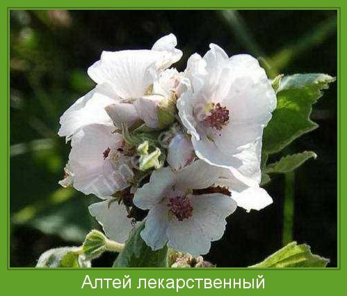 растение алтей фото