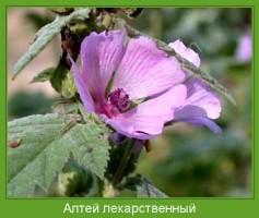 Растение  Алтей лекарственный Фото
