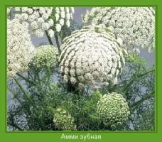 Растение  Амми зубная Фото