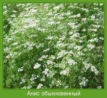Растение  Анис обыкновенный Фото