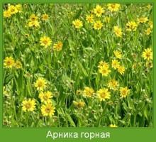 Растение  Арника горная Фото
