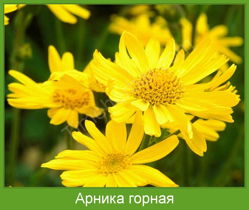анис фото растения