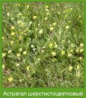 Растение  Астрагал шерстистоцветковый Фото