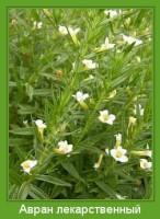 Растение  Авран лекарственный Фото
