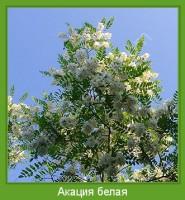 Растение  Акация белая Фото