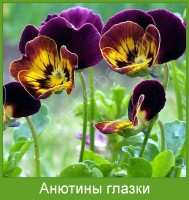Растение  Анютины глазки Фото
