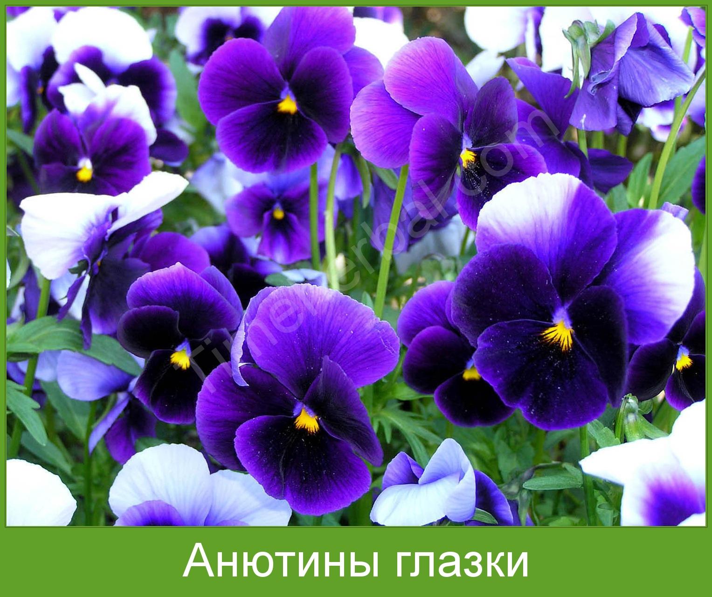 Анютины глазки | лекарственные растения