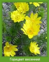 Растение  Горицвет весенний Фото