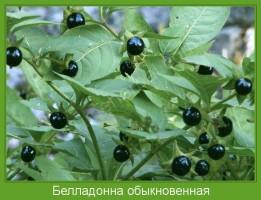 Растение  Белладонна обыкновенная Фото
