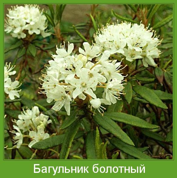 багульник растение фото