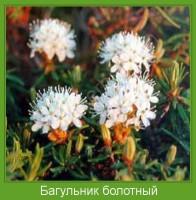 Растение  Багульник болотный Фото