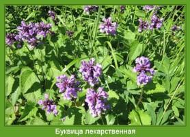 Растение  Буквица лекарственная Фото
