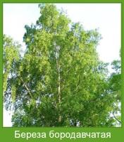 Растение  Береза бородавчатая Фото
