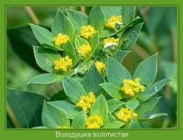 Растение  Володушка золотистая Фото
