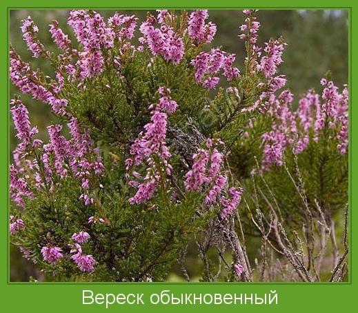 Растение вереск  посадка и уход фото вереска