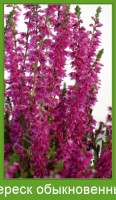 Растение  Вереск обыкновенный Фото