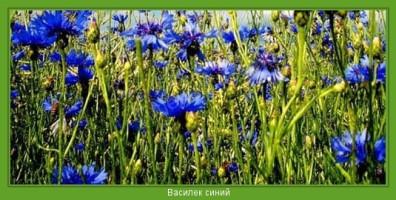 Растение  Василек синий Фото