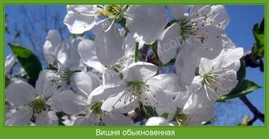 Растение  Вишня обыкновенная Фото