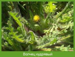 Растение  Волчец кудрявый Фото