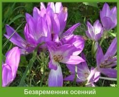 Растение  Безвременник осенний Фото