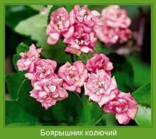 Растение  Боярышник колючий Фото
