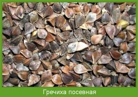 Растение  Гречиха посевная Фото