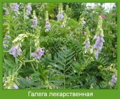 Растение  Галега лекарственная Фото