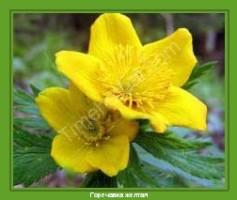 Растение  Горечавка желтая Фото