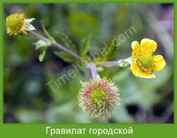 Растение  Гравилат городской Фото