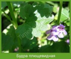 Растение  Будра плющевидная Фото