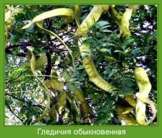 Растение  Гледичия обыкновенная Фото