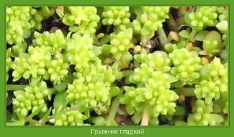 Растение  Грыжник гладкий Фото