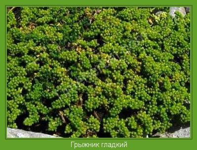анис растение фото