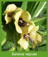 Растение  Белена черная Фото