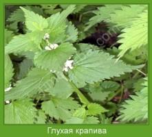 Растение  Глухая крапива Фото