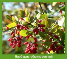 Растение  Барбарис обыкновенный Фото