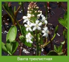 Растение  Вахта трехлистная Фото