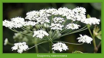 Растение  Бедренец камнеломка Фото