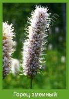 Растение  Горец змеиный Фото