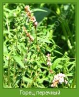 Растение  Горец перечный Фото