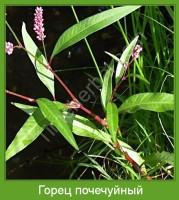 Растение  Горец почечуйный Фото