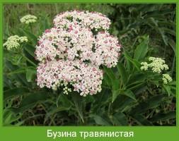 Растение  Бузина травянистая Фото