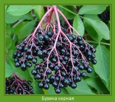 Растение  Бузина черная Фото