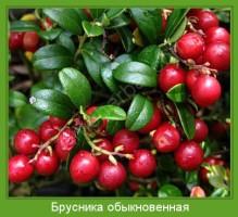 Растение  Брусника обыкновенная Фото