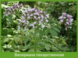 Растение  Валериана лекарственная Фото