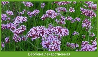 Растение  Вербена лекарственная Фото