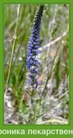 Растение  Вероника лекарственная Фото