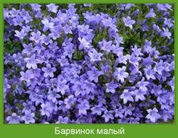 Растение  Барвинок малый Фото